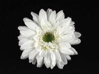 Цветок герберы белый