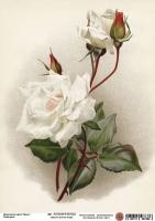 Декупажная карта Белая роза 1