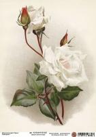 Декупажная карта Белая роза 2